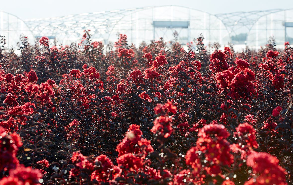 Field of red crapemyrtles with greenhouses in background